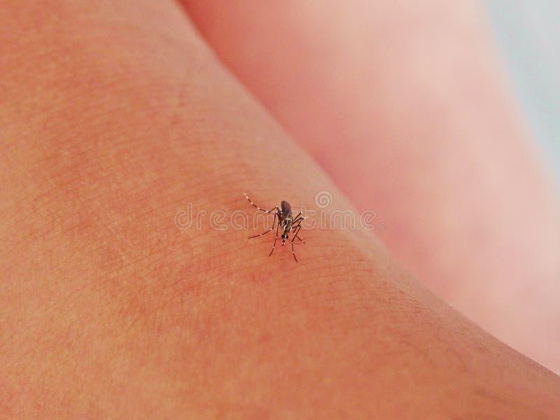 O mosquito sugou o sangue na pele humana Estação dos mosquitos fotos de stock