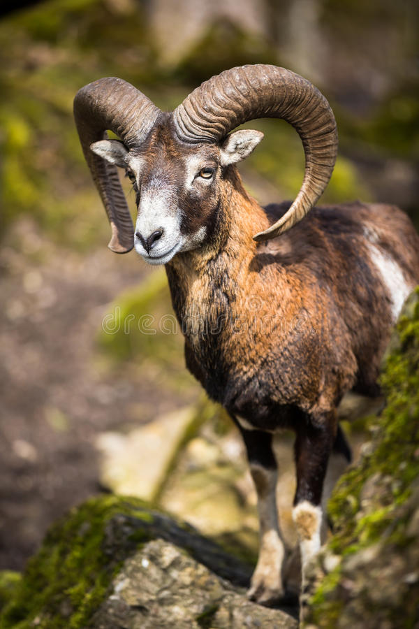 O mouflon (orientalis do Ovis) foto de stock