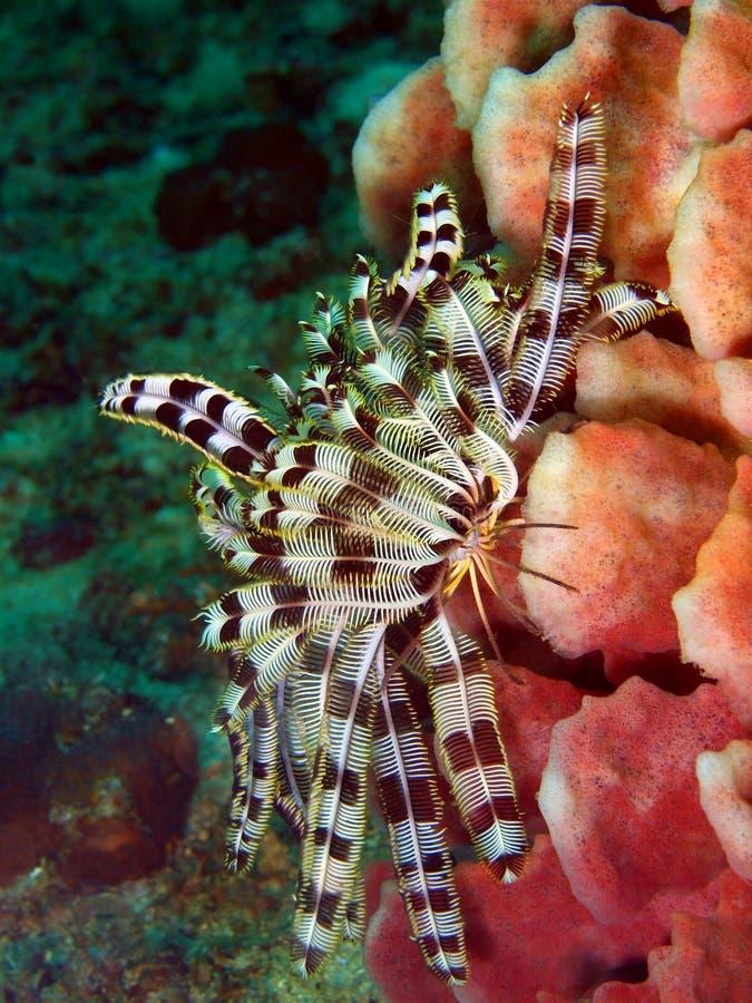Lírio de mar do mar filipino fotos de stock