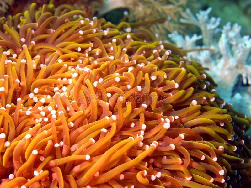 Anêmonas do mar filipino fotos de stock