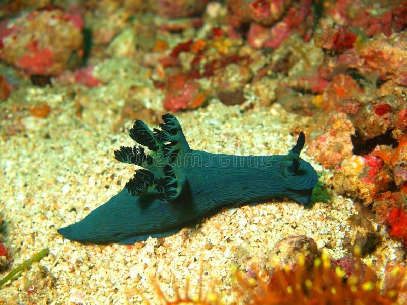 Slugs de mar do mar filipino fotografia de stock