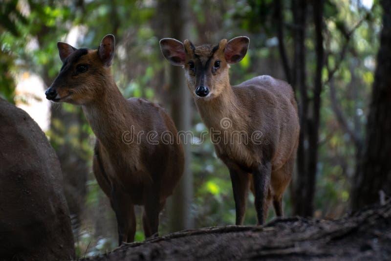 O muntjac de dois reeveem uma floresta fotografia de stock royalty free