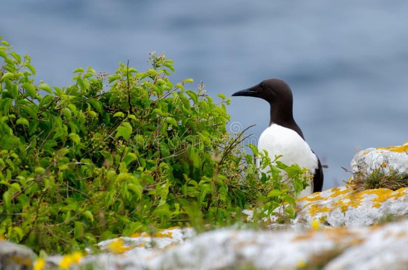 O murre comum ou o mergulhão comum - um grande pinguim imagem de stock royalty free