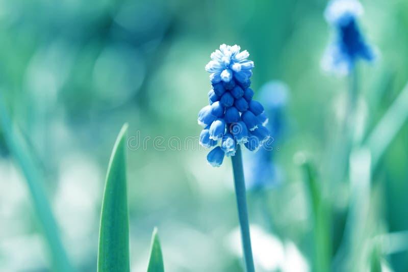 O muscari azul da mola floresce o jacinto no dia ensolarado Muscari Armeniacum Flores bonitas no jardim imagens de stock royalty free
