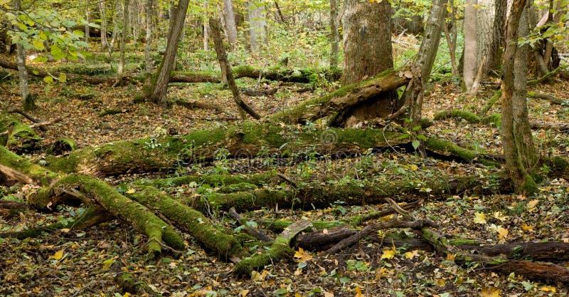 O musgo envolveu as árvores que encontram-se declinado quase fotos de stock