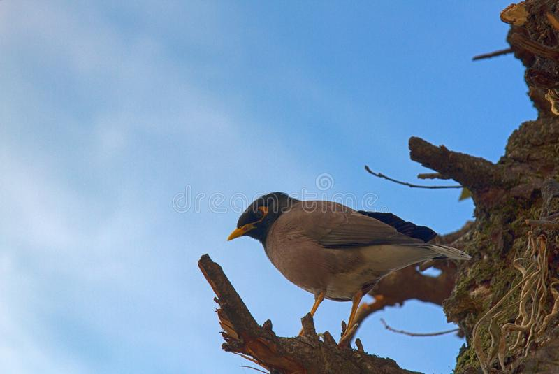 O myna do estorninho (tristis do Acridotheres) senta-se no tronco fotografia de stock