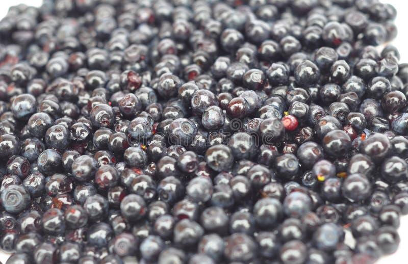 O myrtillus do Vaccinium chamou a uva-do-monte, o mirtilo, o mirtilo ou o mirtilo europeu Fundo da uva-do-monte fotos de stock royalty free
