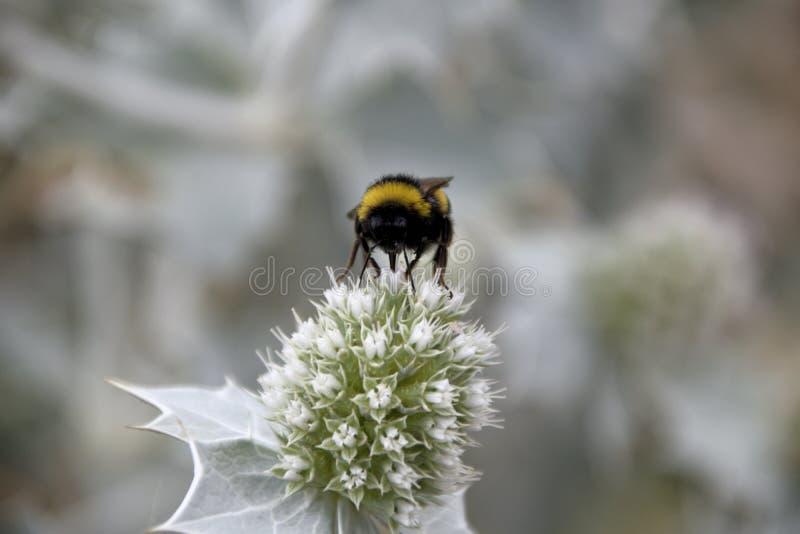O néctar drnking do grande zangão na flor da erva daninha fotos de stock
