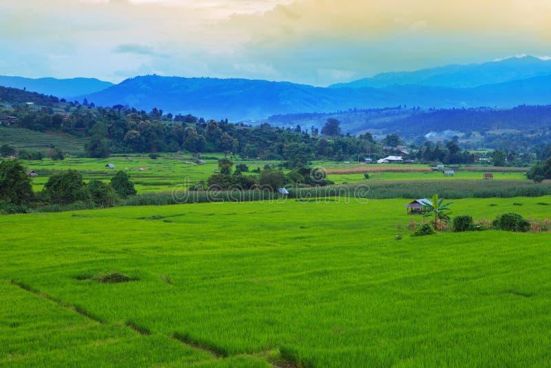 O nível da etapa de campo do arroz cultiva a área imagem de stock royalty free