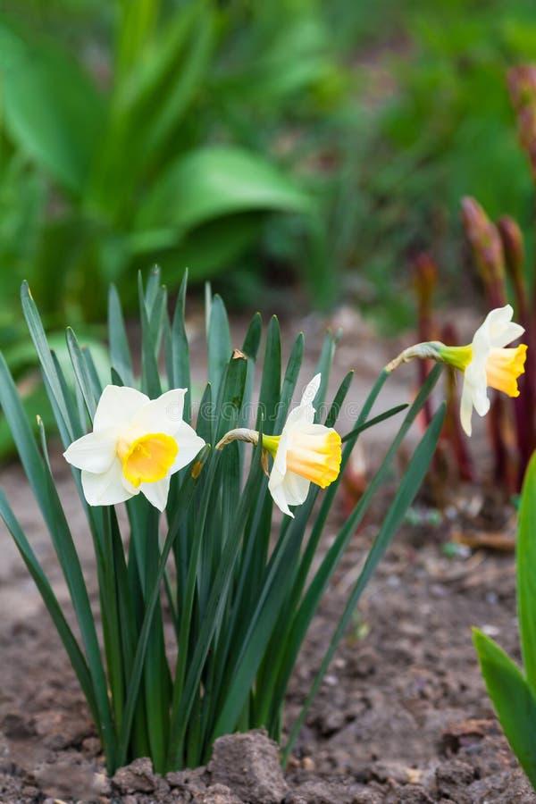 O narciso amarelo branco com núcleo amarelo cresce no jardim foto de stock