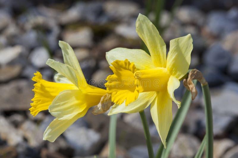 O narciso amarelo de Lobularis do pseudonarcissus do narciso ' imagens de stock