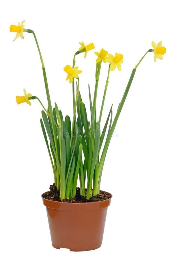 Flores do narciso em um flowerpot imagens de stock