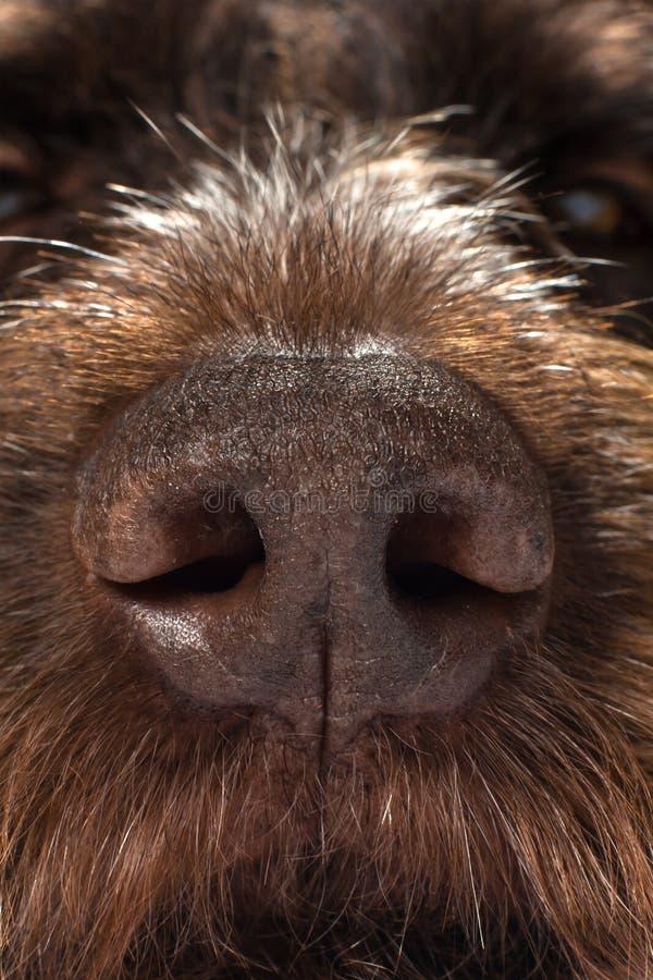O nariz de um cão de caça fotos de stock