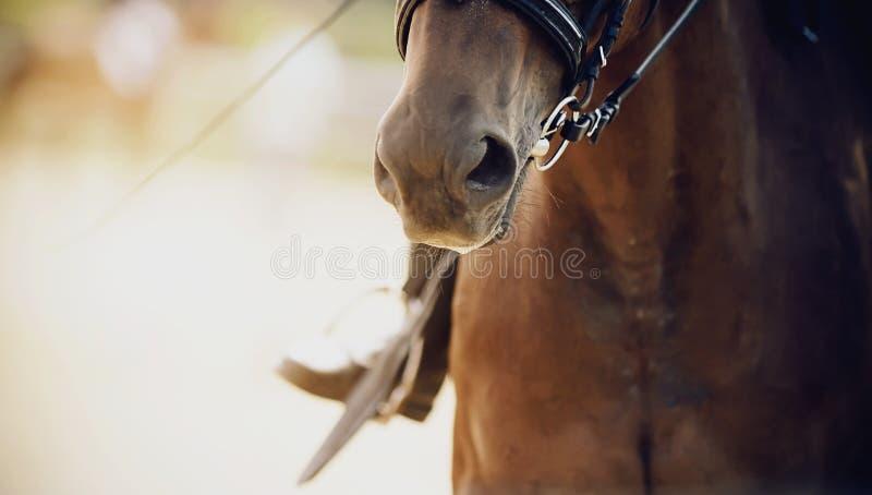 O nariz de um cavalo de baía, vestido para o adestramento, close-up fotos de stock