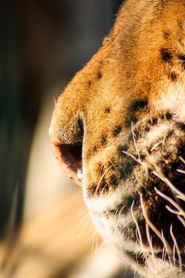 O nariz do tigre imagens de stock