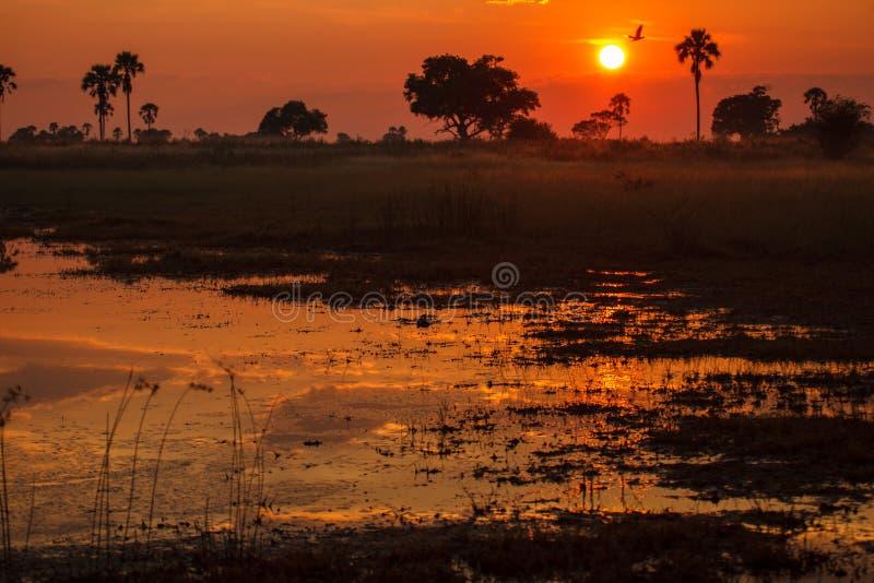 O nascer do sol alaranjado mostra em silhueta árvores e reflete-as na região pantanosa inundada Okavango foto de stock