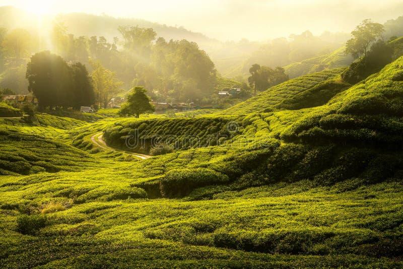 O nascer do sol da manhã e o chá do árvore e o verde cultivam imagens de stock
