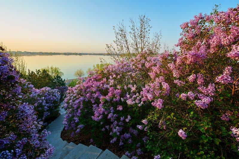 O nascer do sol das flores e do trajeto do lilás imagem de stock