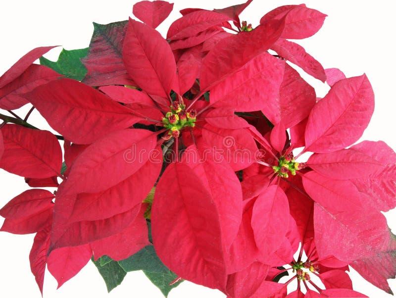 O Natal aumentou, árvore da poinsétia no fundo branco imagens de stock royalty free