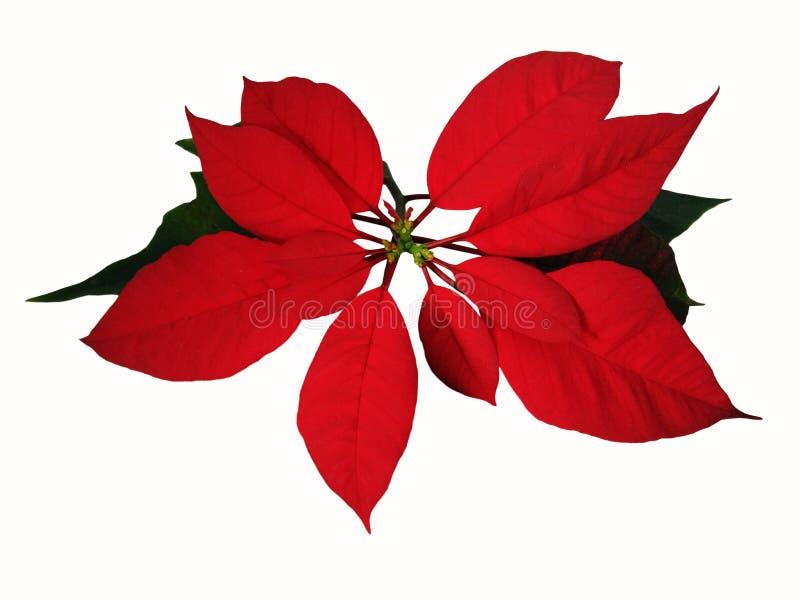 O Natal aumentou, fundo do branco do pn da poinsétia foto de stock royalty free