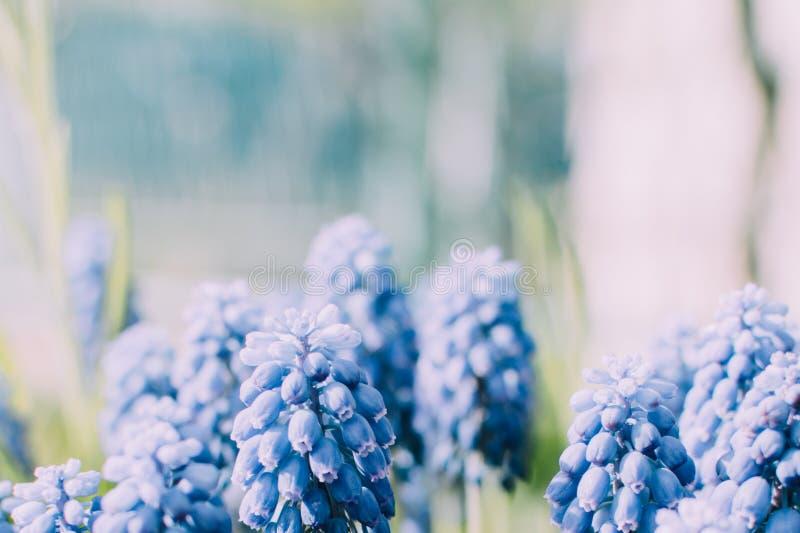 O neglectum do Muscari floresce o fim azul brilhante acima do macro fotografia de stock royalty free