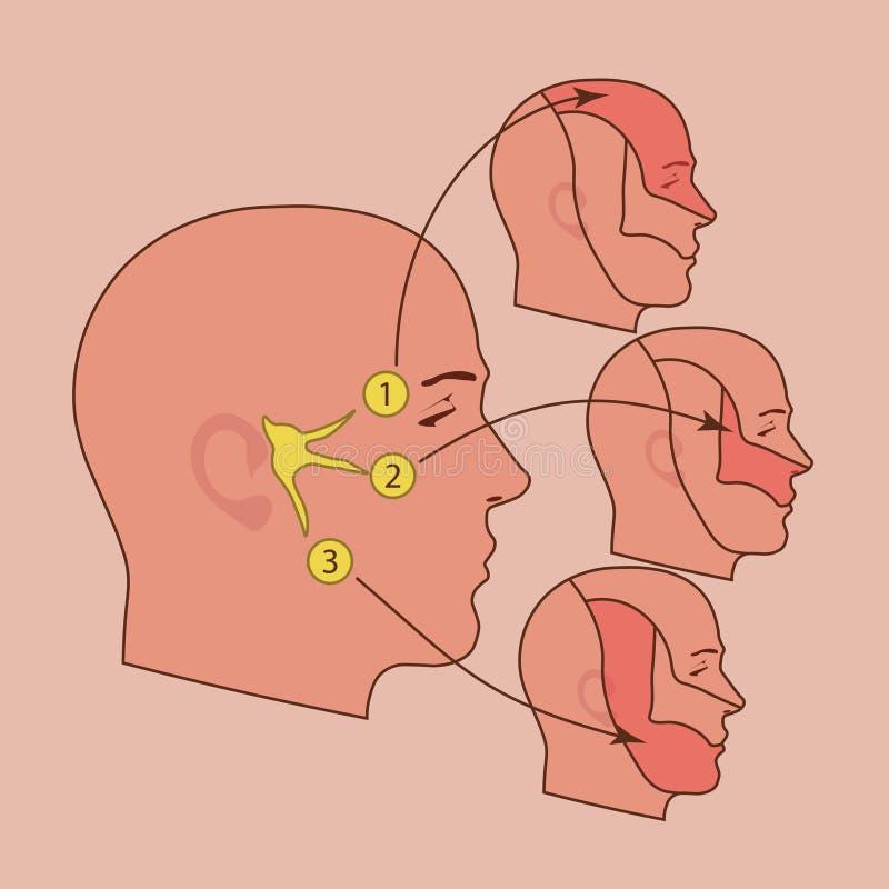 O nervo de trigeminal ilustração royalty free