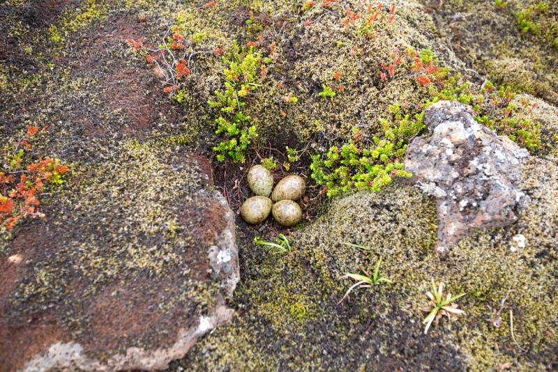 O ninho com os quatro ovos em Islândia imagem de stock royalty free
