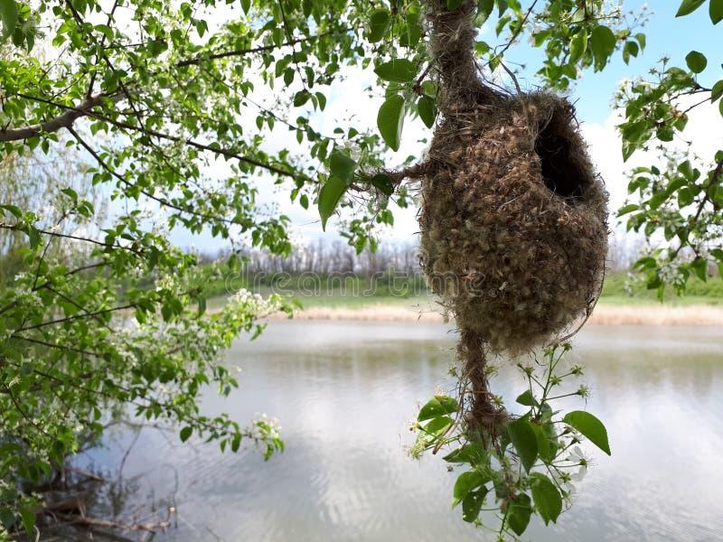 O ninho da andorinha em uma árvore foto de stock