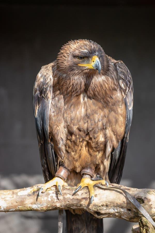 O nipalensis de Aquila da águia do estepe fotos de stock