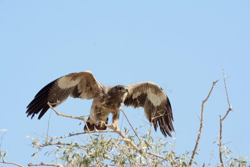 O nipalensis de Aquila da águia do estepe fotografia de stock royalty free