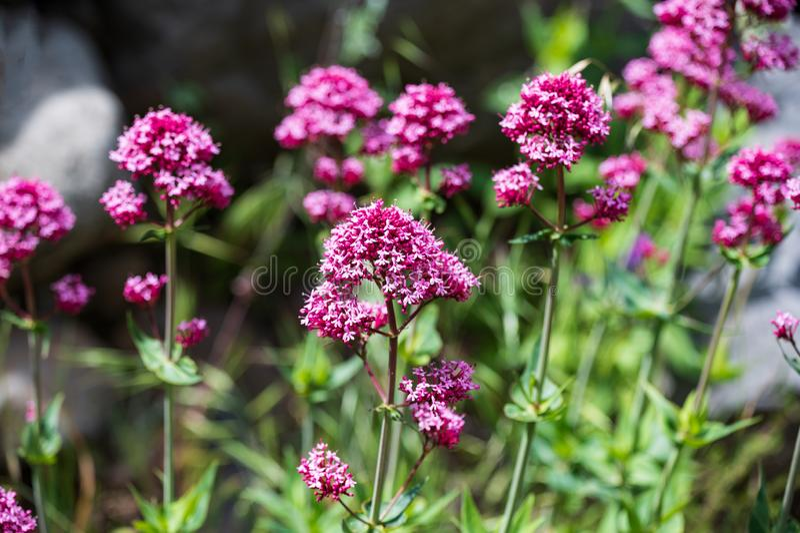 O nome científico desta planta é ruber do Centranthus foto de stock