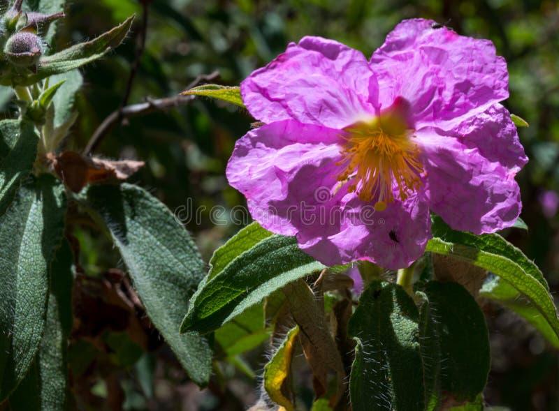 O nome científico desta planta é symphytifolius do Cistus imagem de stock
