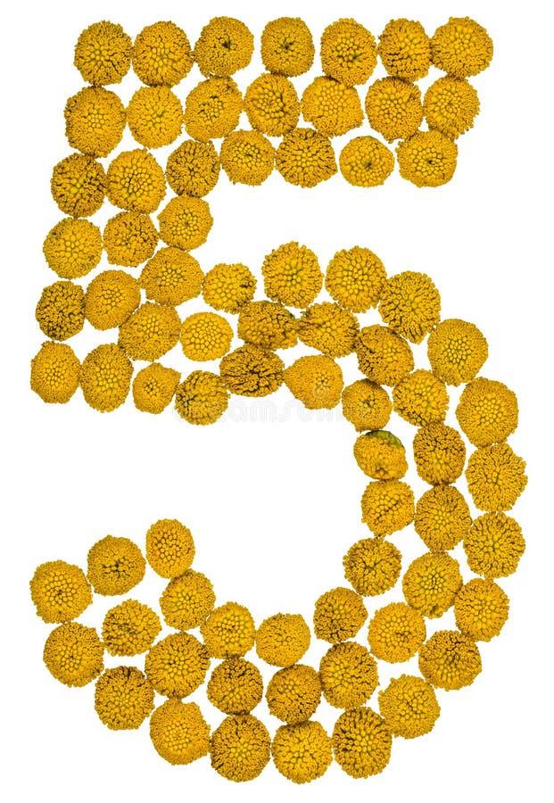 O numeral árabe 5, cinco, das flores amarelas do tansy, isolou o imagens de stock royalty free