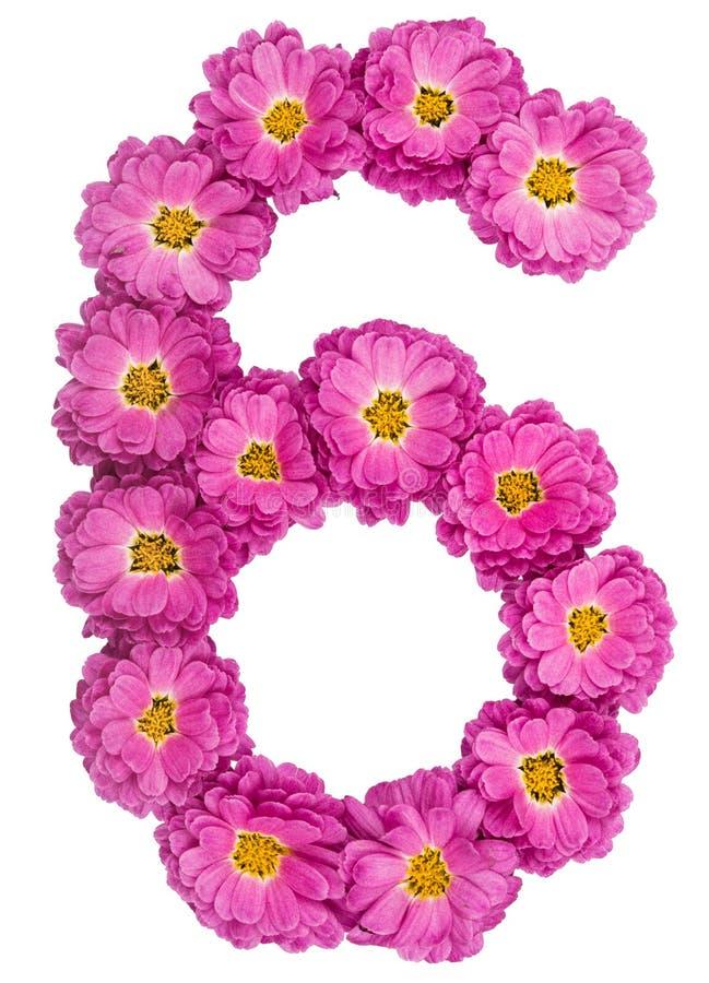 O numeral árabe 6, seis, das flores do crisântemo, isolou o imagem de stock