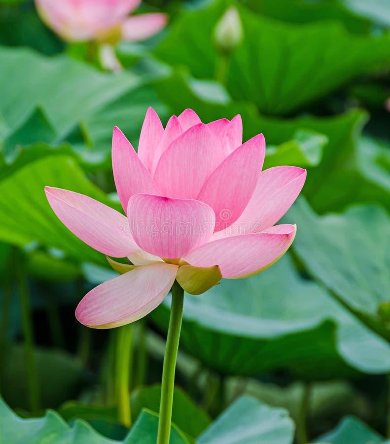 O nuphar cor-de-rosa floresce, campo do verde no lago, água-lírio, lagoa-lírio, spatterdock, nucifera do Nelumbo, igualmente conh imagens de stock