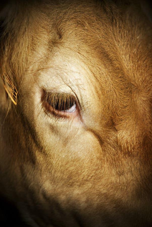 O olhar da vitela (destino cruel) imagens de stock royalty free