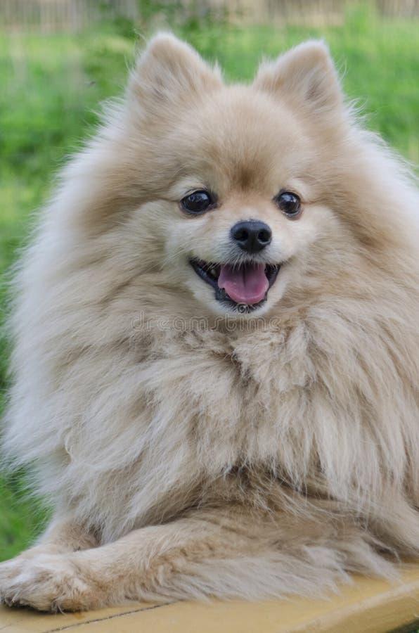 O olhar do shpitz de Pomeranian do cão do retrato na câmera, guarda a casa equipe a encontrar-se para baixo imagem de stock