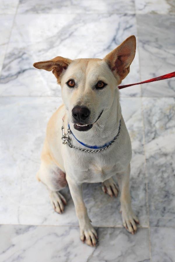 O olhar fixo adorável do cão e seja amarrado foto de stock royalty free