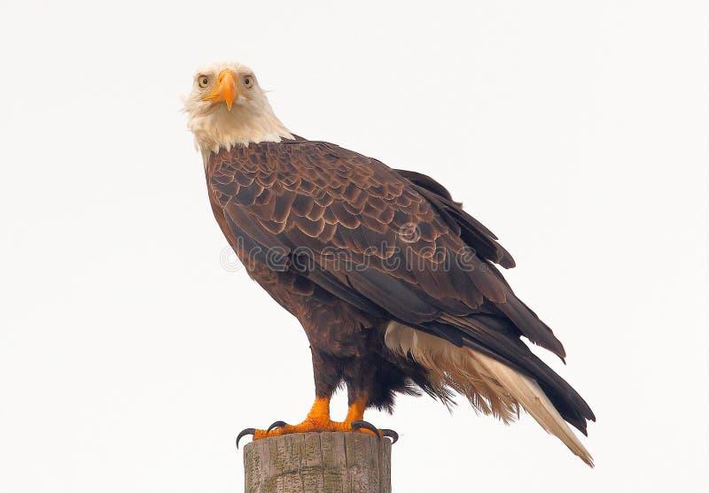 O olhar fixo desanimado de uma águia americana imagem de stock royalty free
