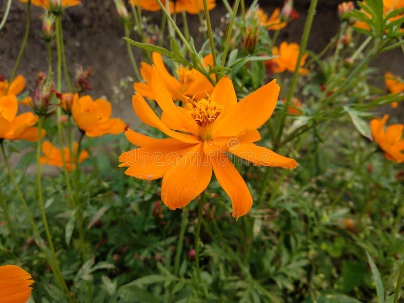 O olhar surpreendente da flor alaranjada imagem de stock