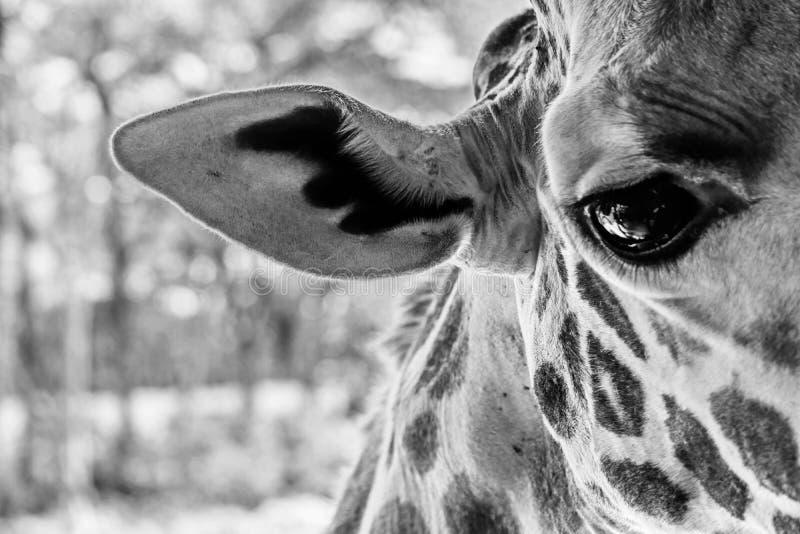O olho do girafa fotos de stock