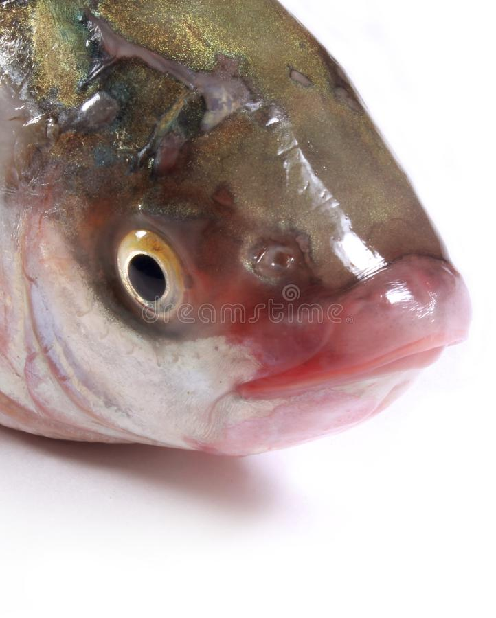 O olho e a boca da carpa pescam em um fundo branco imagem de stock royalty free