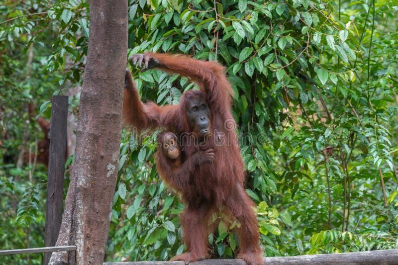 O orangotango da mãe com seu bebê está em um log e em restos sobre uma árvore (Indonésia) fotos de stock royalty free