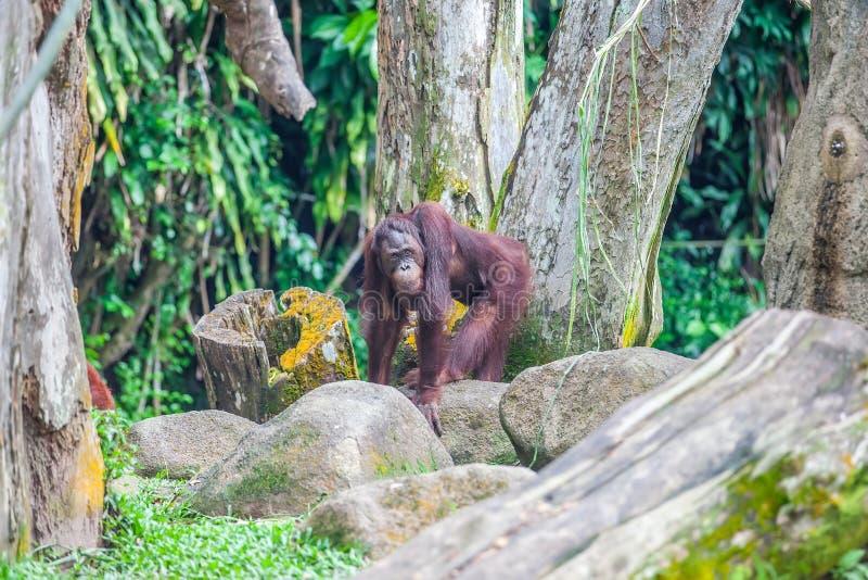 O orangotango de Bornean está em pedras imagens de stock