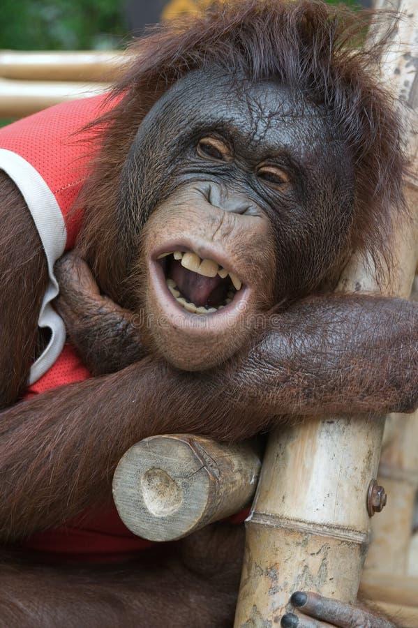 Download O orangotango de sorriso. imagem de stock. Imagem de facial - 16867833