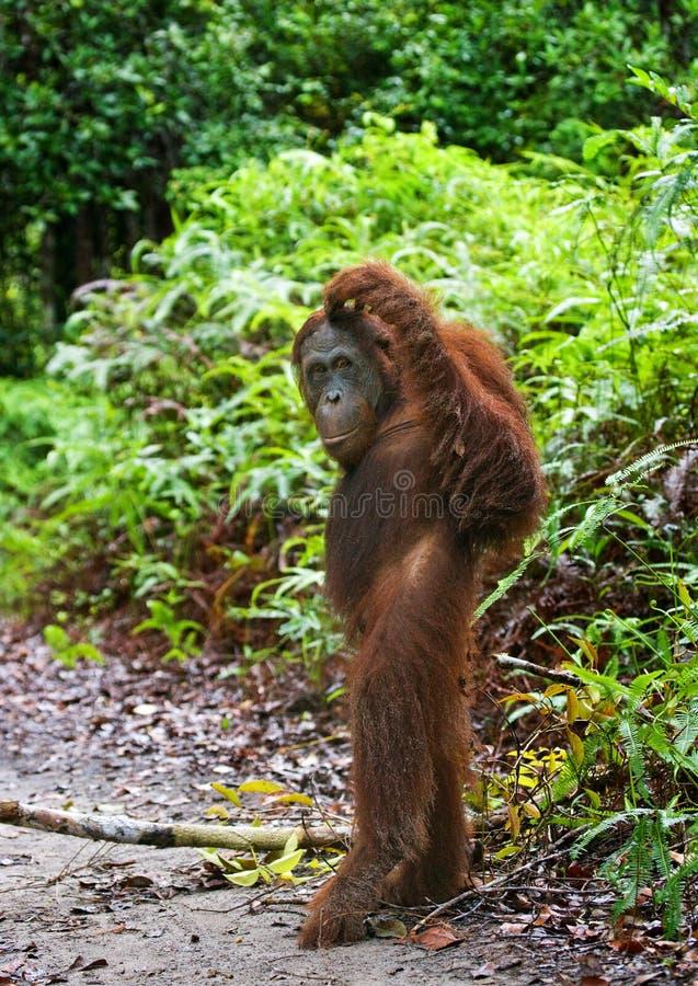 O orangotango está em seus pés traseiros na selva indonésia A ilha de Kalimantan imagens de stock royalty free