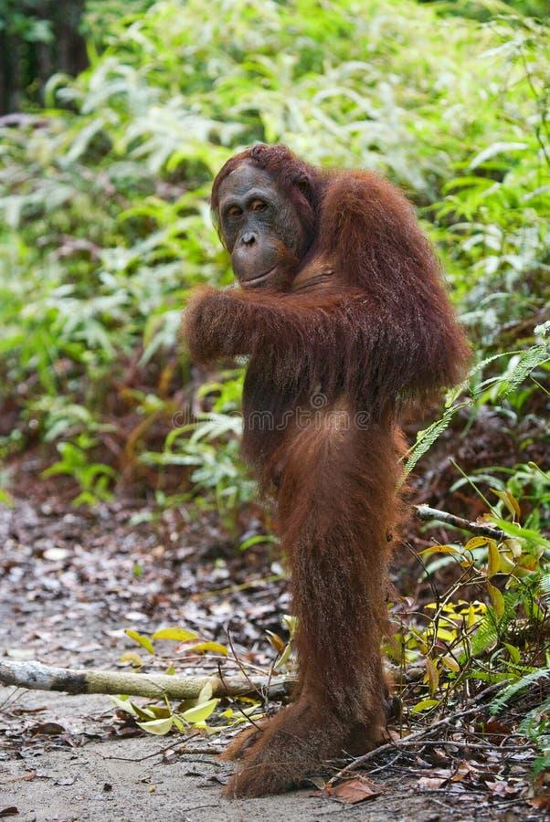 O orangotango está em seus pés traseiros na selva indonésia Orangotango no selvagem indonésia A ilha de Kalimantan Bornéu imagens de stock royalty free