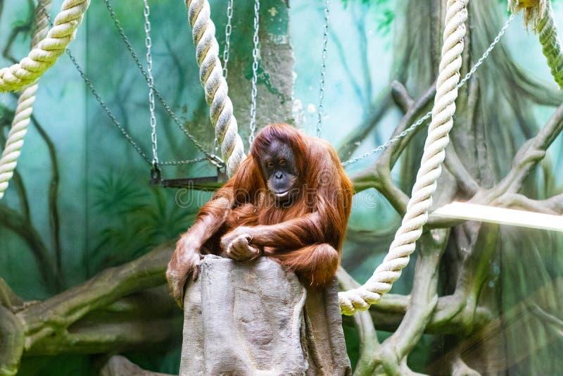 O orangotango falta o jardim zoológico imagem de stock