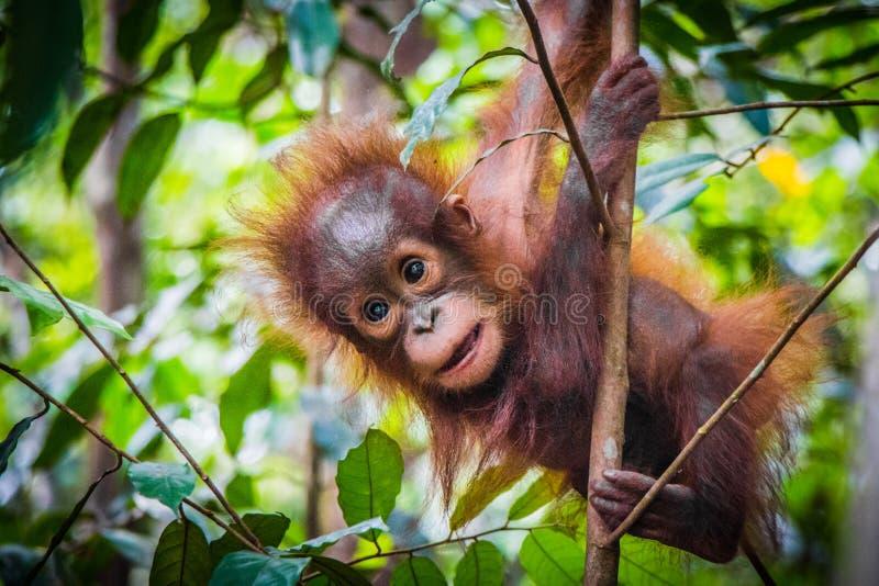 O orangotango o mais bonito do bebê do mundo pendura em uma árvore em Bornéu fotografia de stock