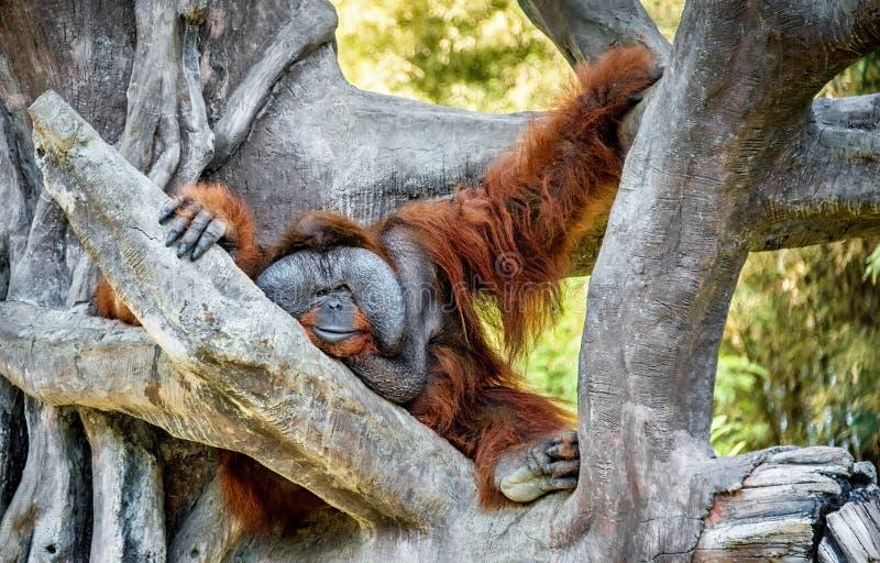 O orangotango masculino peludo do ruivo grande com grande mordente senta-se em uma grande árvore perto do quadro horizontal fotografia de stock